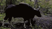 Karnataka: Foresters protecting accused in gaur mowing down case?