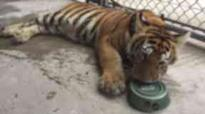 Escaped pet tiger found on the loose in Texas suburb
