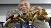 Malaysia: 330 smuggled endangered tortoises seized