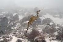 First ever video of an elusive new ruby seadragon filmed in wild