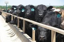 Allendale Sees Big Jump In Placements And Marketings Compared To Year Ago In Upcoming Cattle On Feed Report