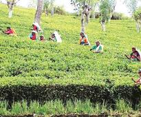 Tea stocks extend rally; Goodricke Group, Warren Tea up over 50% in a month