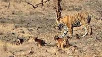 SGNP gears up to welcome tiger cubs after 9 years