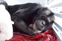 Hollywood chimp retires to Florida after 16 years in captivity