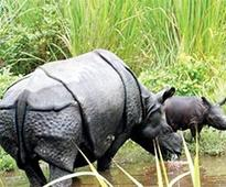 Translocated rhino gives birth to calf in Manas