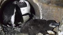 WEM turning to social media to name new penguin chick