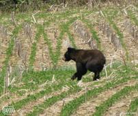 Black Bear Hit By Truck in Northeast Iowa