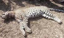 Dead leopard cub found in Sanjay Gandhi National Park