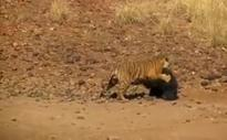 Astonishing combat between sloth bear and tiger. Who won?