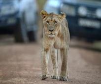 Lions on the loose in Kenyan capital