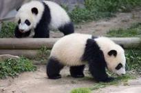 US-born giant pandas learning Sichuan dialect and adapting to life in China after a month