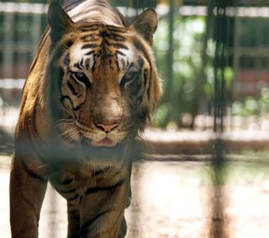 Stomach this! Big cats in UP zoo forced to munch on chicken, mutton