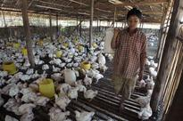 Avian Flu Strikes Poultry Farms in Sagaing Division