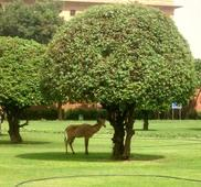 Nilgai seen resting in the shadow of a tree at the lawn near Vijay Chowk