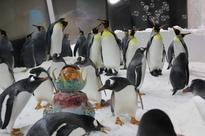 SEA LIFE Melbourne Aquarium celebrates World Penguin Day