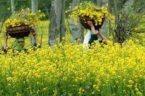 Politics around GM mustard issue heats up