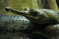 River Gandak in Bihar becomes 3rd breeding ground for gharials