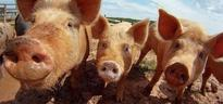 Where the pork industry stands on antibiotics use in livestock by Carolyn Heneghan Sept. 23