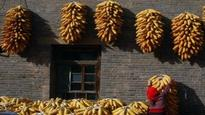 Corn in India firms up on supply crunch, rise in demand: USGC