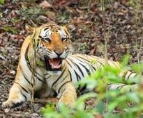 Tiger conservationist Thapar criticises radio collaring of missing tiger Jai