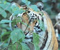 Tiger conservation plans for 16 reserves are yet to be submitted