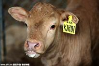 Six calves cloned simultaneously in Henan