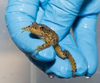 Rescue for Recovery: Biologists Team up with Oakland and San Francisco Zoos to Save Frogs on Brink of Extinction