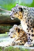 French lover for Darj zoo snow leopards