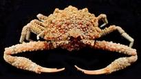 New crab species with star-shaped projections found