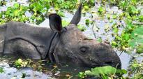 Assam starts verifying genuineness of rhino horns stored for decades in treasuries