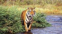 With tiger revival on agenda, experts to visit Cambodia
