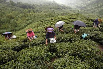 Priced tea falls prey to Darjeeling unrest