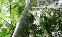 Zimbabweans spot green gold in bamboo that spa...   Bamboo is native to Zimbabwe, according to Bio-Innovation Zimbabwe...