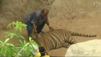 Tigers removed from Thai Buddhist temple amid allegations of illegal breeding and trafficking