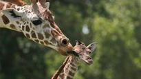 Giraffes at risk of a 'silent extinction'