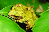 Baby Frogs Dine on Mom's Unfertilized Eggs