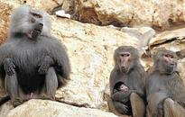Brutal truth of baboon sex