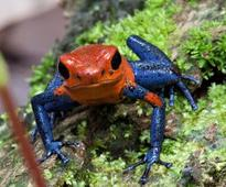 Florida Biologists Study Extinction Potential of Costa Rica Frogs