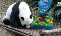 Giant pandas Kai Kai, Jia Jia celebrate birthday in Singapore