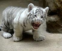 A two months old white tiger cub stands in its enclosure