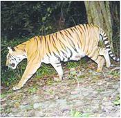 Tiger burns bright in India, Bhutan
