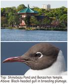 Nature in Short / Face-to-face with a black-headed gull at Ueno temple pond