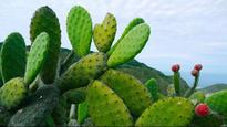 Mexico's prickly pear cactus: An energy source of the future?
