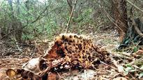 Leopard beaten to death, burnt in Gujarat village, one detained