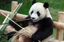 China's panda pair unveiled to S.Korean public