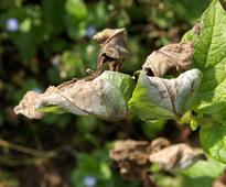 Potato blight fight stands up to global crop disease