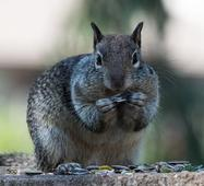 Hero Squirrel Attempts To Eat Taco Nearly The Size Of Its Whole Body