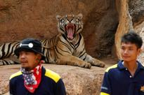 Tigers seized from Thai temple in wildlife trafficking bust