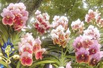 2016 Philippine Orchid Society midyear garden show