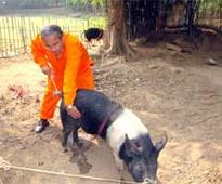 Adoption of State scientist's technique boosting pig production